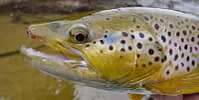 Brown Trout Fly Fishing
