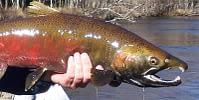 Coho Salmon Fly Fishing